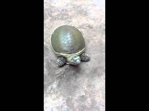 Tortoise with Long Neck