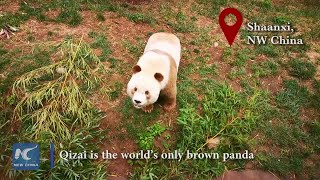 A day in the life of Qizai the brown panda