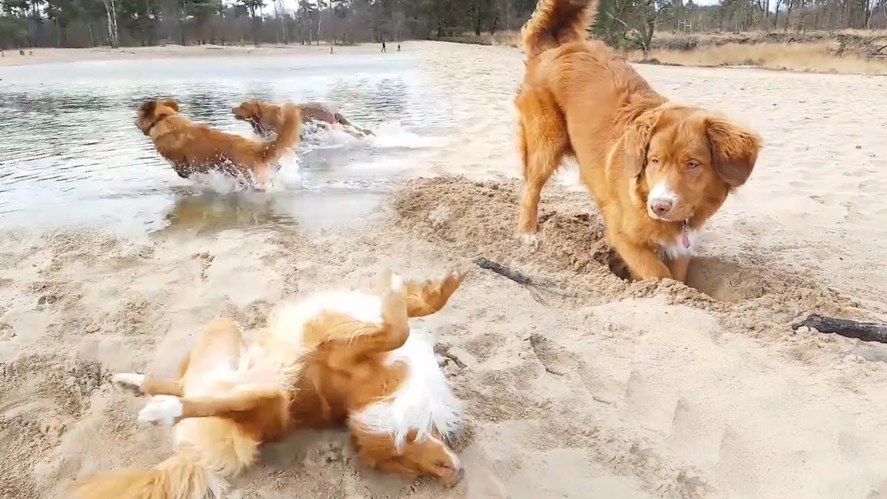 Happy Dogs! Swimming N...