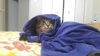 Уссури. Великий учитель рисования) Сибирская кошка