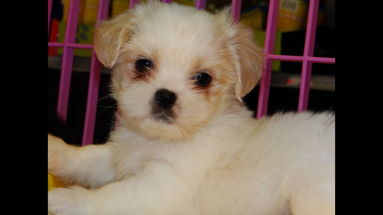 Shih Tzu Puppies Dogs For Sale In Mesa Arizona AZ