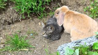 Cat vs. Rabbit
