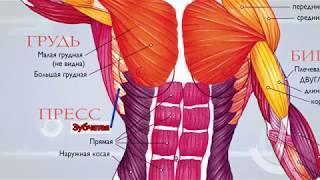Анатомия. Мышечная система.