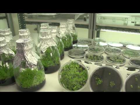 基因改造生物體文心蘭