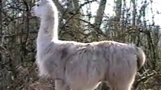Cow Makes Llama Laugh