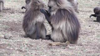 Gelada Baboons Simein Mountains