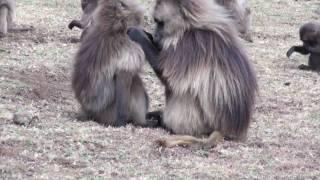 Gelada Baboons Simein Mountains