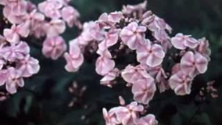 Флоксы в саду П.Г. Гаганова