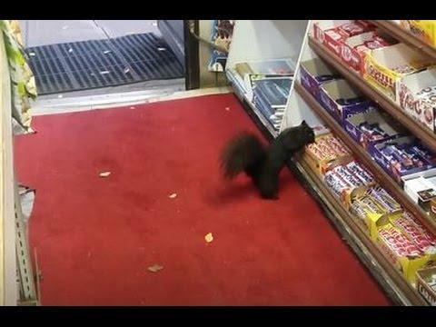 ardilla roba una barra de chocolate