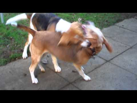 Beagle Harrier Basil and Beagle Poppy ~ at it again...