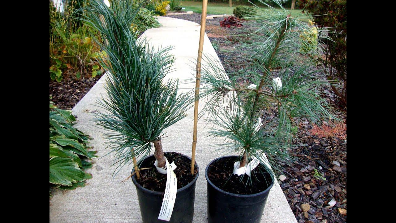 Eastern White Pine Stony Brook Bonsai Tree Youtube