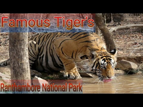 Famous Tigers In Ranthambore National Park | Best Tiger Sightings In 2020 | New Tiger Cubs