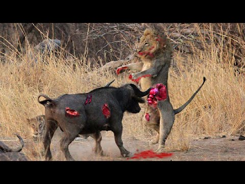 Búfalo Mata Leão! - Crocodilo vs Búfalo - Crocodilo vs Hipopótamo
