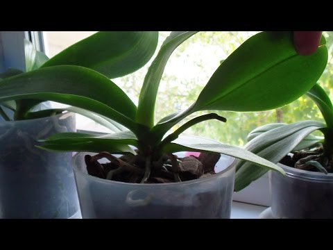 Как  появляется новый цветонос Орхидеи после его полной обрезки