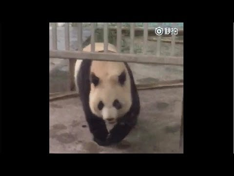 Miserable Life of Zichun Panda in Cruel Anyang Zoo, China
