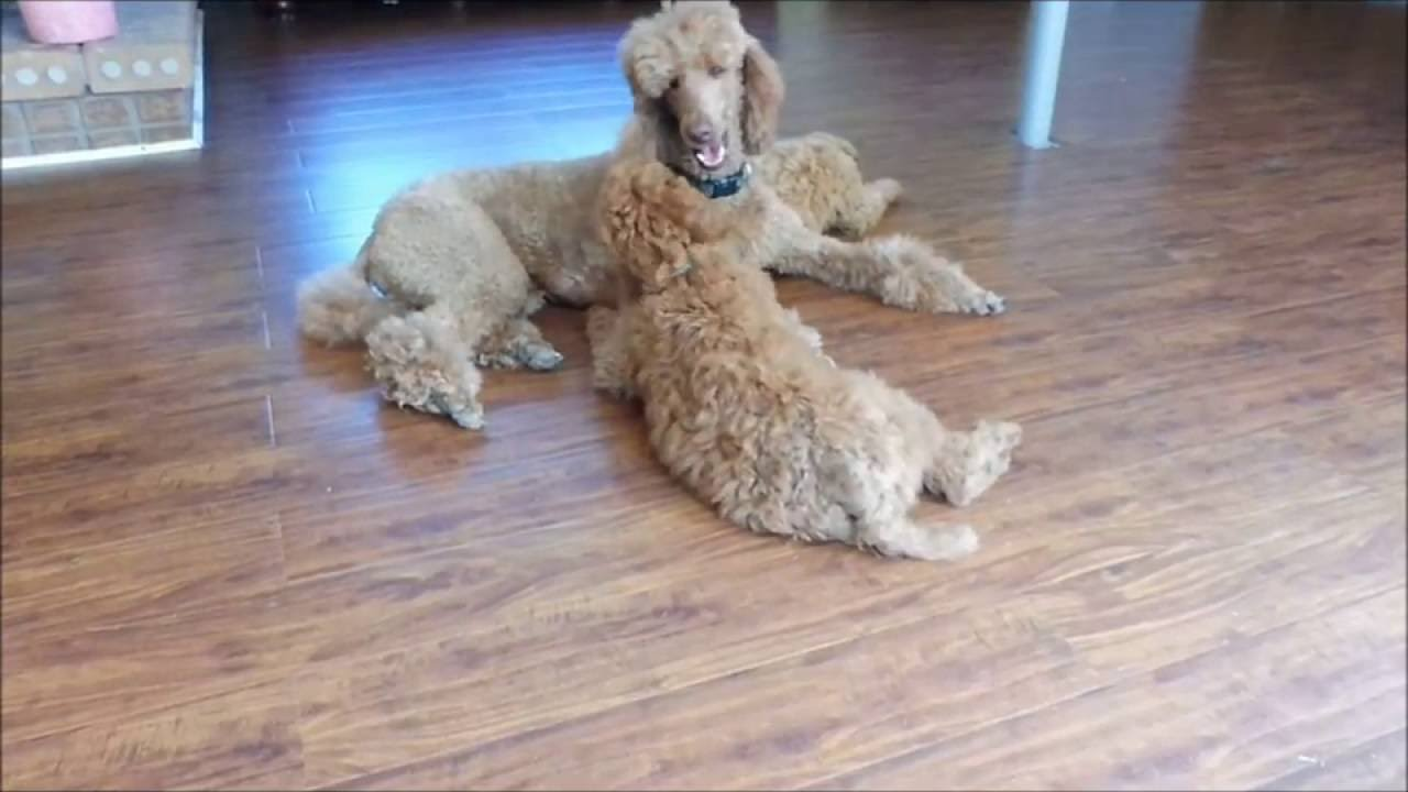 Red Standard Poodle Puppy Wants His Mom To Play With Him Youtube