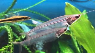 これからの季節に涼しげなお魚はいかが?熱帯魚水槽のお友だち、トランスルーセント・グラスキャット