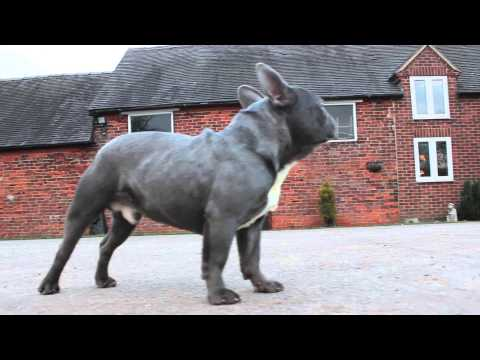 Prince Claud Solid Blue French Bulldog Boy For Stud by Oliver Bulldogs
