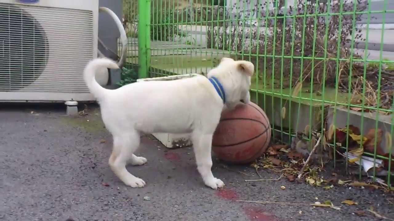 HEBOH; anjing GILA ,GILA BOLA - YouTube