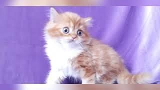 Рыжий кот. Купить шотландского котенка в Москве в питомнике кошек.