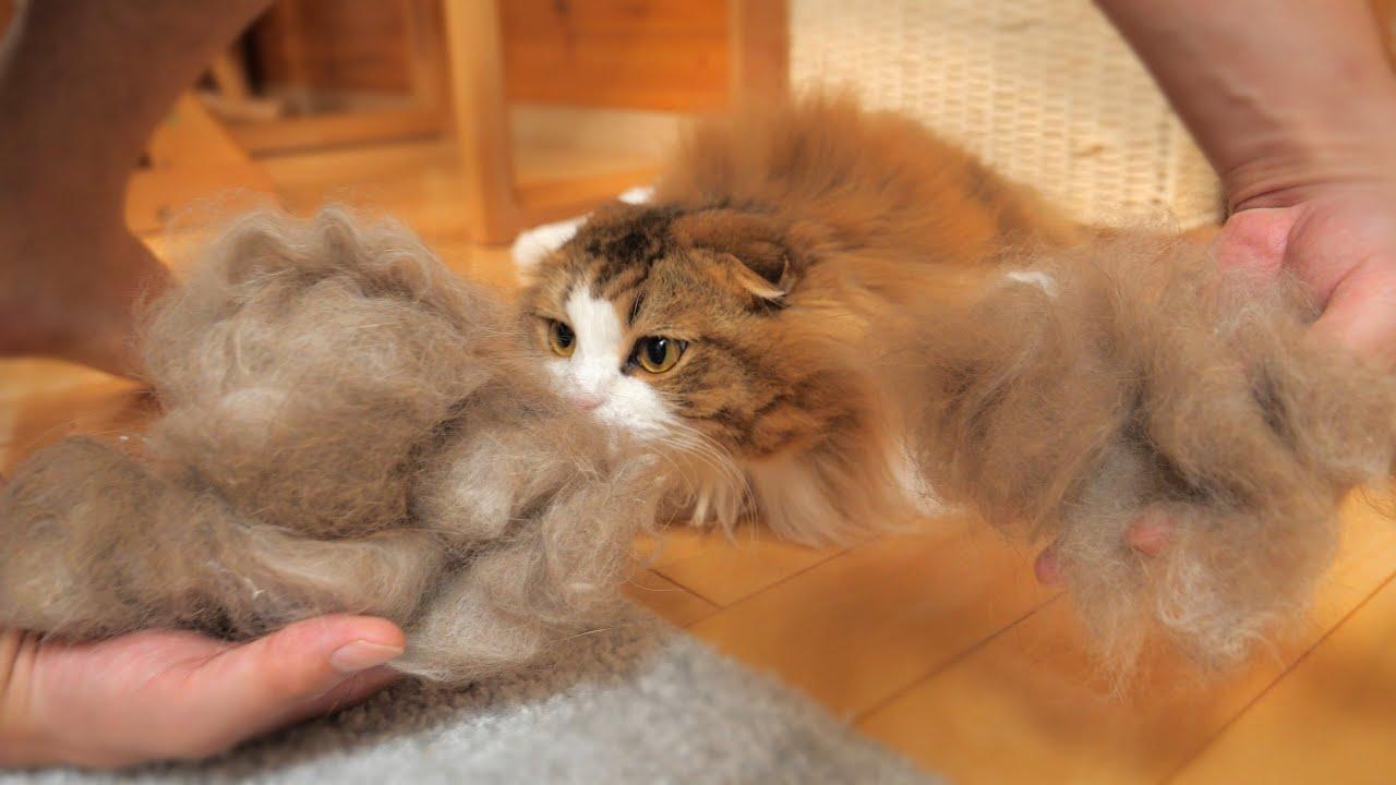 【モフ毛製造機】長毛種の猫ちゃんは換毛期にブラッシングだけでこんなにも毛が抜けるんです!