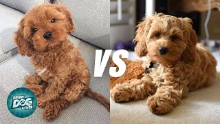 Cavapoo vs Cockapoo  Poodle Mix Breeds Comparison