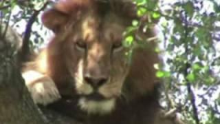 Lions of the Serengeti, May 2008