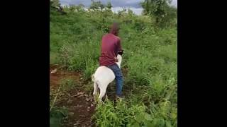 Young  boy's ride a goat