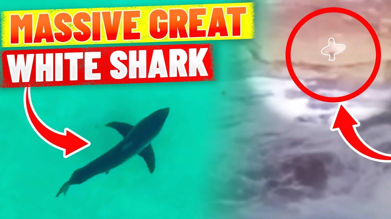 Download MASSIVE Great White Shark heads towards surfers at Tamarama Beach, Sydney (Australia)