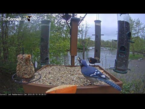 Blue Jay flips peanut like a coin    16 39   Video 2018 05 19 164508