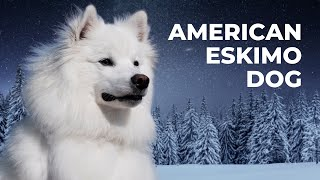 Top 7 American Eskimo Dog Facts (and Price!)