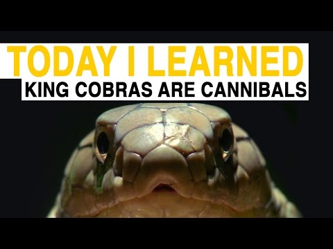 TIL: King Cobras Are Cannibals | Today I Learned