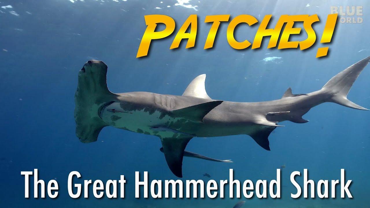 Friendly Hammerhead Shark Jonathan Bird S Blue World