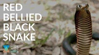 We did a SNAKE BITE TEST! ft Red Bellied Black Snake