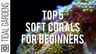 Top 5 Corals for Beginners: Soft Coral Edition