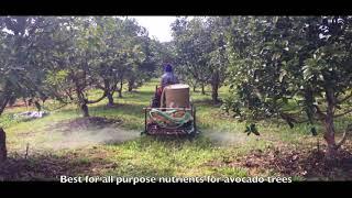 การพ่น EM และ ปุ๋ยปลาบริเวณรอบต้นอโวคาโด //Spraying EM and Fish fertiliser for Hass Avocado trees