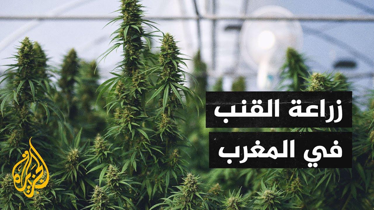المغرب يسعى لاستخدام القنب الهندي من خلال تقنين زراعة النبتة المخدرة  - نشر قبل 23 دقيقة