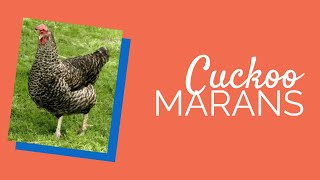 Cuckoo Maran Chickens for Sale | Chickens For Backyards