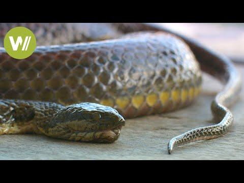 Schlangen in Kambodscha: