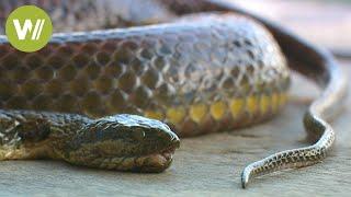 Schlangen in Kambodscha: ein billiges Futter für die Krokodile