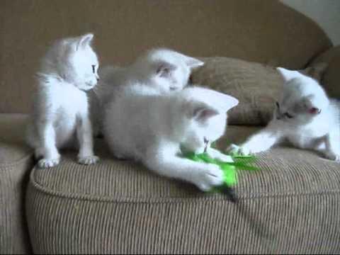 Black shaded shorthair Burmilla kittens 7 wks old.wmv