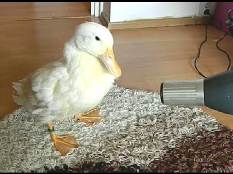 I Am A Cute Duck AWW YouTube