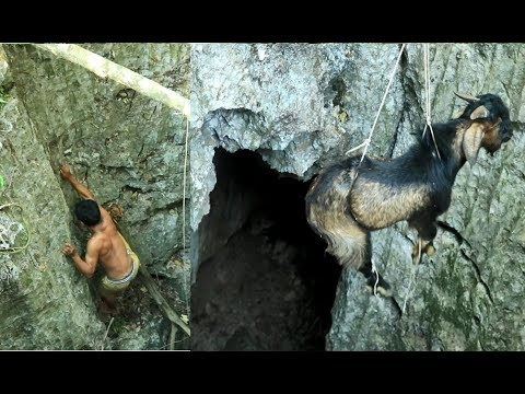 adventure in forest - Bezoar Ibex  rescue  - Eating corn del