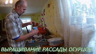 видео Выращивание огурцов на балконе начиная с рассады поэтапно