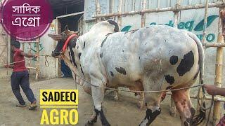 100   Bolod and Sibbi Bull   Afternoon Walk   Sadeeq Agro   ZbGH 2019