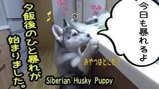 夕飯後のひと暴れが始まりました。シベリアンハスキーの子犬 はっちゃん...