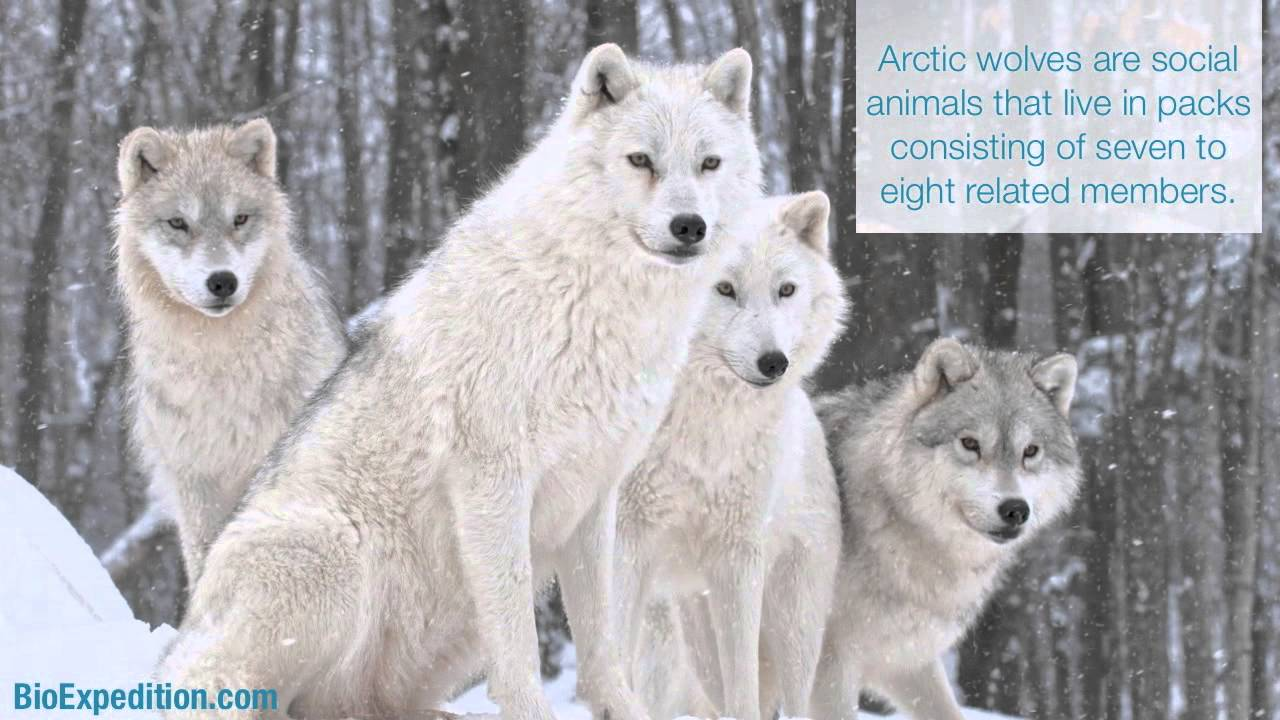 Information about Arctic Wolf - YouTube