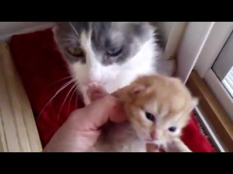 Missy's Kitten - Red Tabby Longhaired Japanese Bobtail - 07/17/18