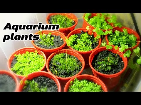 Growing Emersed Aquarium plants under DIY LED lightning