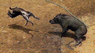 Brutales peleas hasta la muerte entre perros y jabalíes en Indonesia ...